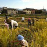 稲刈り2014 – 仲間との一体感☆