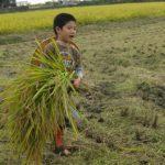「米作りの会」2013 稲刈り