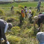 「米作りの会」2011 稲刈りをしました